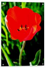 Red Tulip in Bloom, Acrylic Print