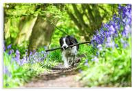 Molly the Border Collie enjoying fetching her stic, Acrylic Print