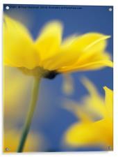 Soft Focus Yellow Chrysanthemums, Acrylic Print