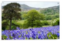 Snowdonia Bluebells, Acrylic Print