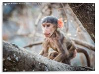 Cute Baby Baboon, Acrylic Print