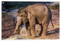 Asian elephant calf, Acrylic Print