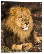 Asiatic lion in the sunshine, Acrylic Print
