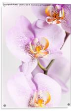Pink speckled Orchid blooming macro, Acrylic Print