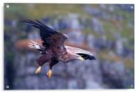 White Tailed Eagle Mull Scotland, Acrylic Print