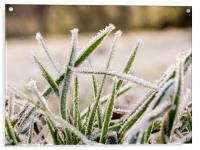 Frozen Grass, Acrylic Print