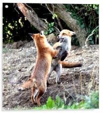 The Frolickings of two young fox cubs, Acrylic Print