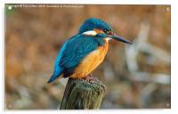 The Kingfisher, Acrylic Print