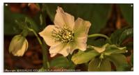 """Evening light on the Hellebores"", Acrylic Print"