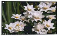"""Anemone Nemorosa Alba"", Acrylic Print"