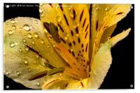 Alstroemeria, Acrylic Print