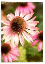 Autumn Echinacea, Acrylic Print