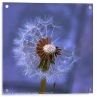 Dandelion Seed Head II, Acrylic Print