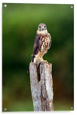 The merlin (Falco columbarius), Acrylic Print