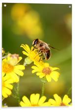 Bee collecting Nectar, Acrylic Print