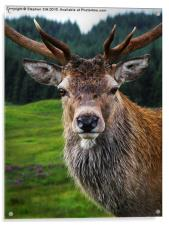Stag Portrait in the Highlands of Scotland , Acrylic Print