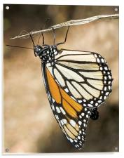 Monarch Butterfly, closeup on a twig, Acrylic Print