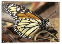 Monarch Butterfly closeup and personal, Acrylic Print