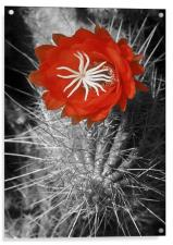 Red Cactus flower blossom, Acrylic Print