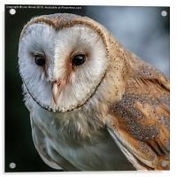 Barn Owl Portrait, Acrylic Print