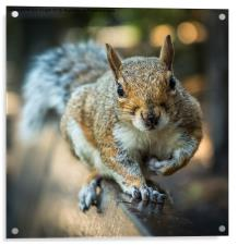 Squirrel in the park, Acrylic Print