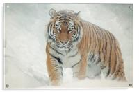 Tiger in the snow, Acrylic Print