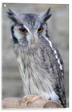 Scops Owl, Acrylic Print