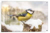 Little blue tit in winter snow, Acrylic Print