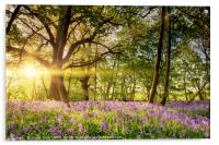 Stunning bluebell forest in spring sunrise, Acrylic Print