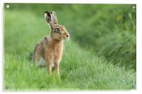 Beautiful Norfolk wild hare sat on grass, Acrylic Print
