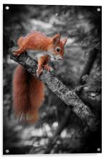 Red squirrel (Sciurus vulgaris), Acrylic Print