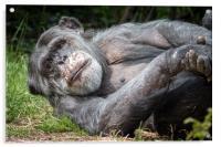 Chimpanzee , Acrylic Print