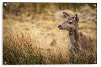 Red Deer             , Acrylic Print