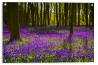 Bluebell Wood Micheldever , Hampshire .England , Acrylic Print
