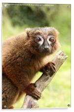 Red Bellied Lemur on a tree, Acrylic Print