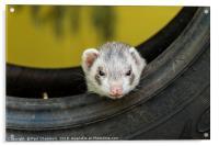 Ferret in a car tyre, Acrylic Print
