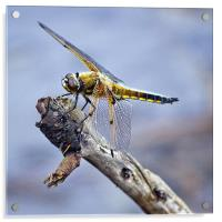 Four-spotted Chaser Dragonfly - Libellula quadrima, Acrylic Print