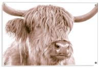 Hairy Coo Collection 4 of 7, Acrylic Print