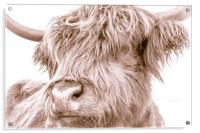 Hairy Coo Collection 5 of 7, Acrylic Print