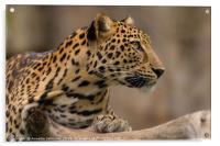 Panthera pardus #2, Acrylic Print