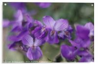 Beautiful violets on a grass bank.              , Acrylic Print