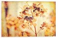 Hydrangeas in the autumn , Acrylic Print