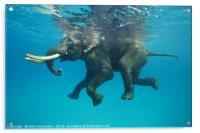 Swimming elephant, Acrylic Print