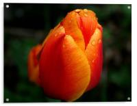 Tulip, Acrylic Print