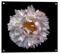 Crazy Daisy, Acrylic Print