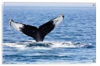 Tail of Whale, Cape Cod, Acrylic Print
