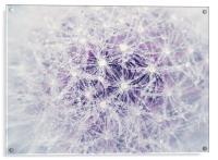 Dandelion and Droplets, Acrylic Print