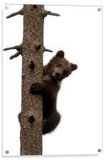 Brown Bear Cub in Tree, Acrylic Print