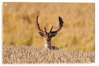 Fallow deer in Wheat Field, Acrylic Print