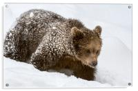 Brown Bear Cub in Winter, Acrylic Print